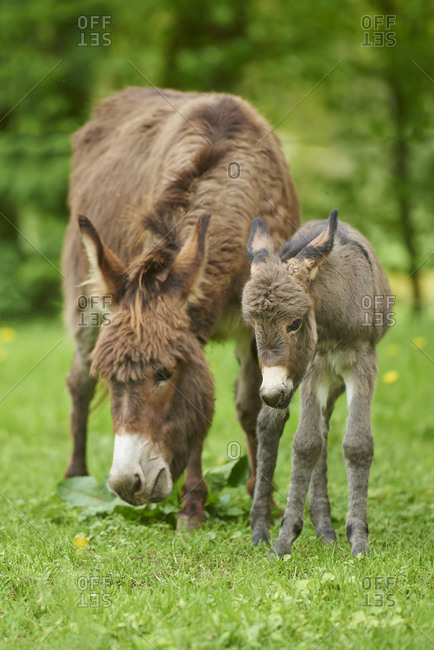 Donkey, Equus asinus asinus, female and foal in a meadow