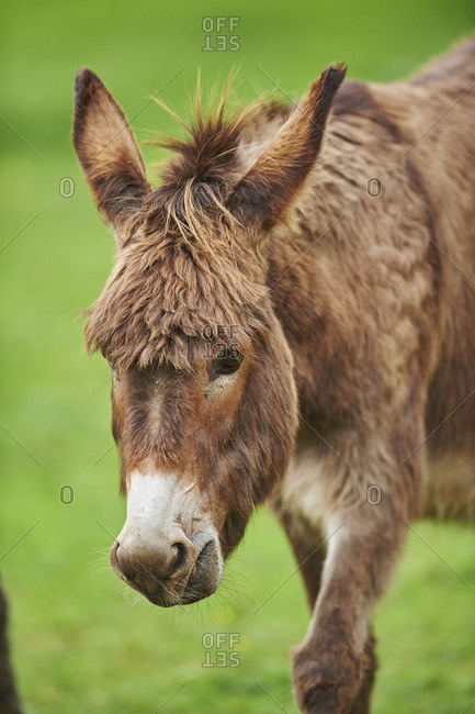 Donkey, Equus asinus asinus, in a meadow