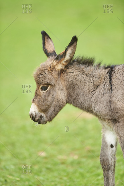Donkey, Equus asinus asinus, foal in a meadow, close-up, detail