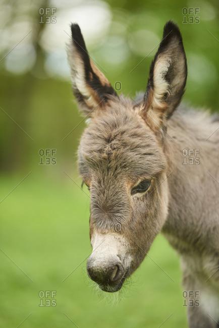 Donkey, Equus asinus asinus, foal in a meadow, portrait
