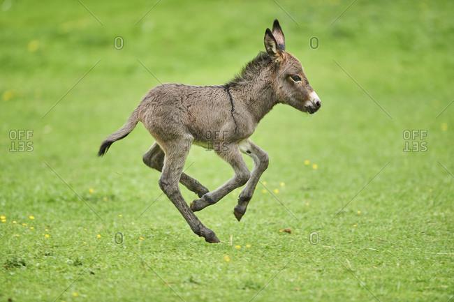 Donkey, Equus asinus asinus, foal in a meadow