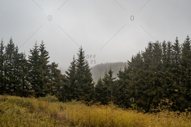 Meadow with yellow grass located near amazing conifer forest on misty day in Bulgaria, Balkans