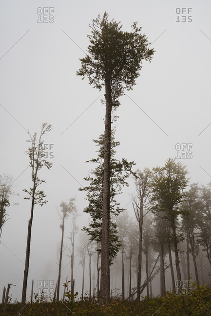 From below shot of amazing tall trees growing in beautiful forest on misty day in Bulgaria, Balkans