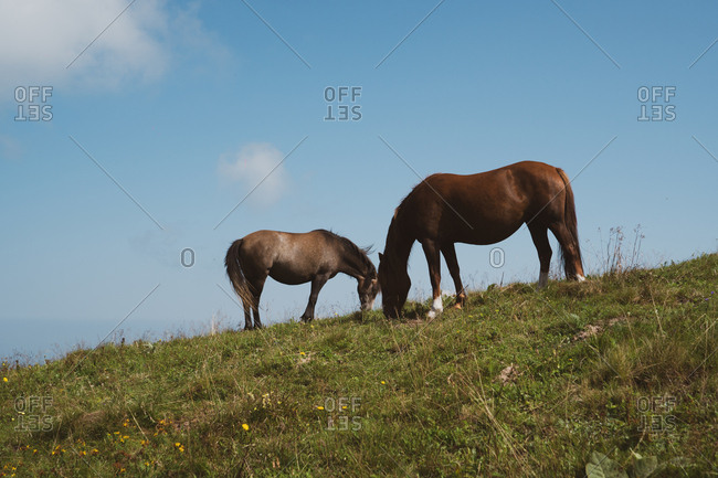 Three beautiful horses eating grass while standing on top of hill in wonderful countryside in Bulgaria, Balkans