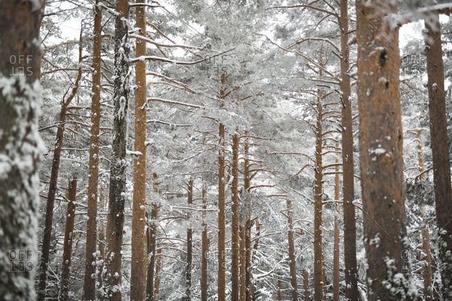 Beautiful conifer trees covered with snow growing in amazing forest on wonderful winter day