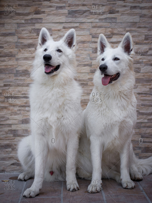 Two amazing White Swiss Shepherds looking away while sitting on tiled ground near wall in yard