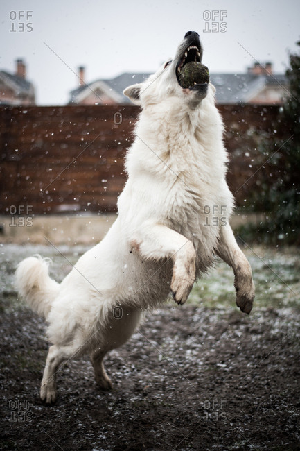 Adorable White Swiss Shepherd catching ball while playing on countryside yard during snowfall