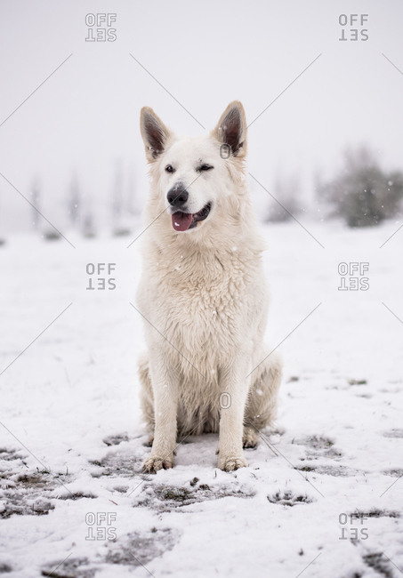 Beautiful White Shepherd dog standing on countryside yard during wonderful snowfall