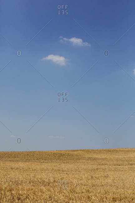 Golden cornfield under a blue sky with small high clouds.