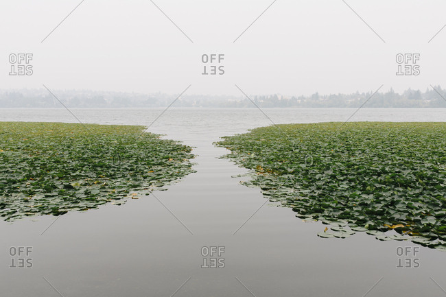 Waterlilies on lake, hazy and smoky air from wildfires in distance, Green Lake, Seattle, Washington, USA.
