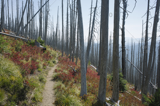 Pacific Crest Trail, the track through fire damaged forest in autumn, near Mount Rainer National Park, Washington