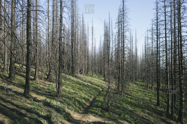 Fire damaged trees in the forest of the Norse Peak Fire, near Mount Rainier National Park, Washington