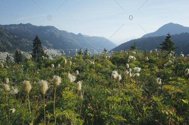 Wildflower meadow above Chinook Pass, near Mount Rainier National Park, in the Cascades range.
