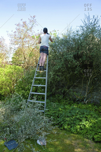 A woman in shorts on a tall ladder cutting and trimming a tall mature hedge.