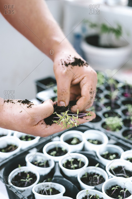Person holding young seedlings ready for transplanting.