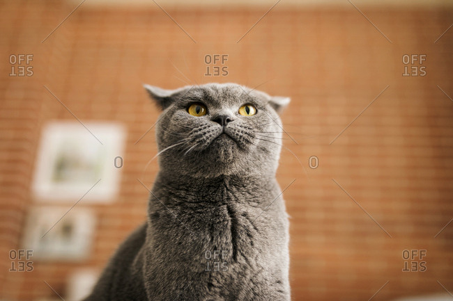 Portrait of a shorthair cat looking up