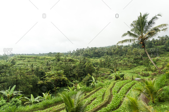 Rice paddy field in Bali