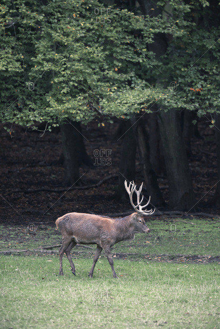 Male deer with large antlers walking at the edge of a forest