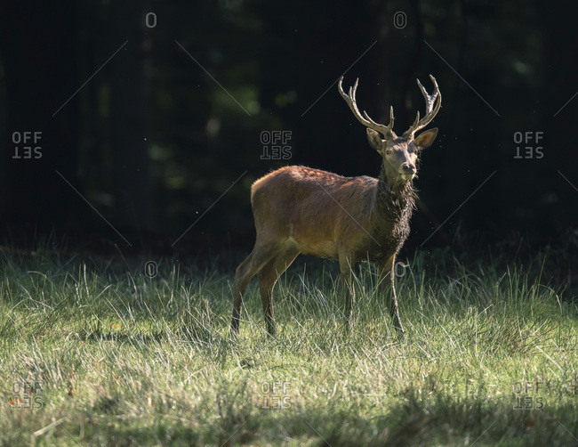 Male deer with large antlers at the edge of a forest