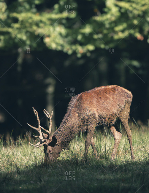 Male deer grazing at the edge of a forest