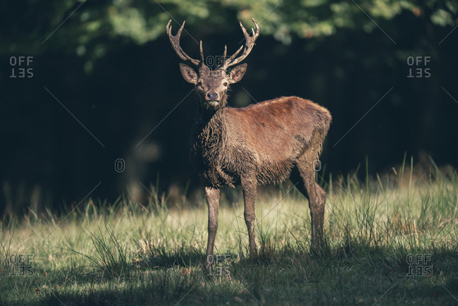 Portrait of a male deer with large antlers at the edge of a forest