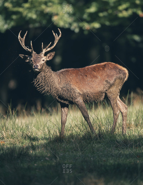Male deer with large antlers at the edge of a forest standing in sunlight