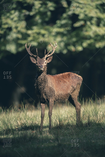 Portrait of a deer with large antlers at the edge of a forest