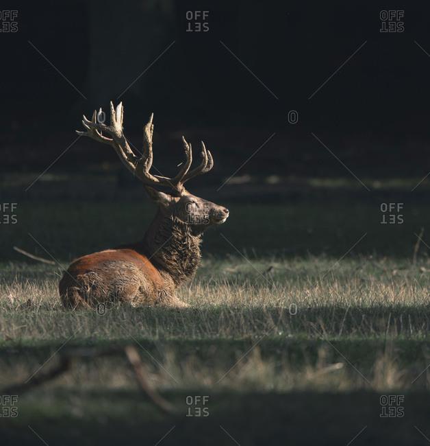 Male deer resting in a meadow