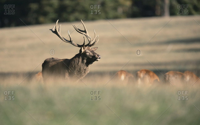 Large male deer in a meadow with other deer