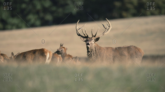 Male deer in a meadow with other deer