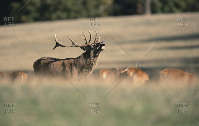 Large male deer howling in a meadow with other deer