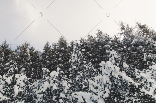 Treetops covered in snow in�Andorra