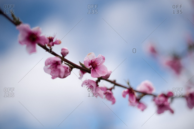 Close up of blossoms on an almond tree