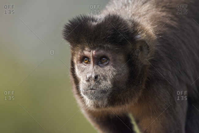 Nature photograph with headshot of capuchin monkey in Atlantic Rainforest of Itatiaia National Park, Mantiqueira Mountains, Rio de Janeiro, Brazil