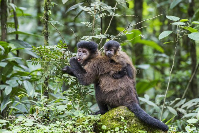 Nature photograph of female capuchin monkey with infant, Itatiaia National Park, Rio de Janeiro, Brazil