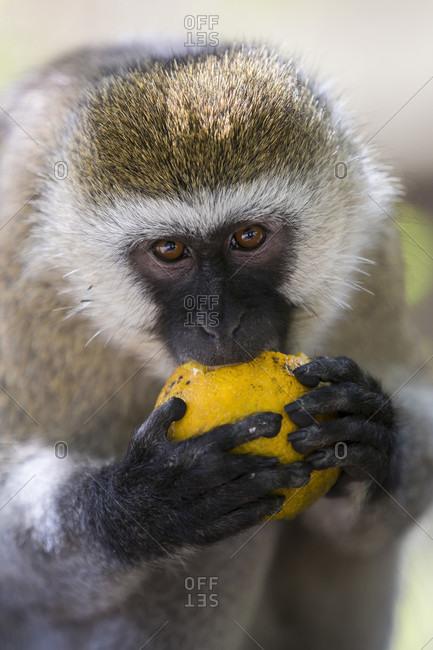 Nature photograph with close-up shot of single vervet monkey (Chlorocebus pygerythrus) feeding on orange fruit, Masai Mara National Reserve, Kenya