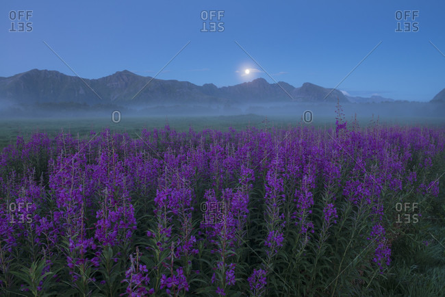 Beautiful natural scenery with field of purple flowers in foggy weather at twilight, Gimsoy, Lofoten, Norway