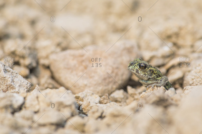 Single western toad (Anaxyrus boreas) among rocks