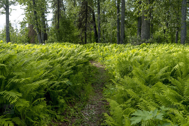 Beautiful natural scenery with green ferns growing in forest, Talkeetna, Alaska, USA
