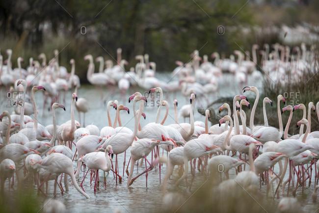 View of large group of flamingoes in swamp, Saintes-Maries-de-la-Mer, Provence-Alpes-Cote d'Azur