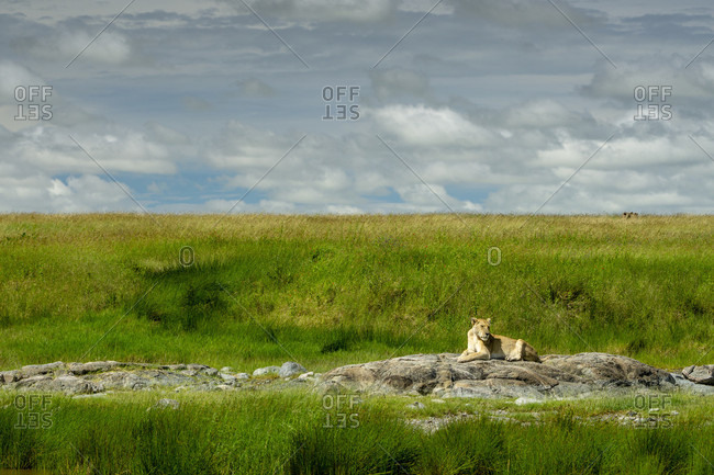 Distant view of single lioness?(Panthera?leo)?lying on rock, Serengeti National Park, ?Ngorongoro?District, Tanzania