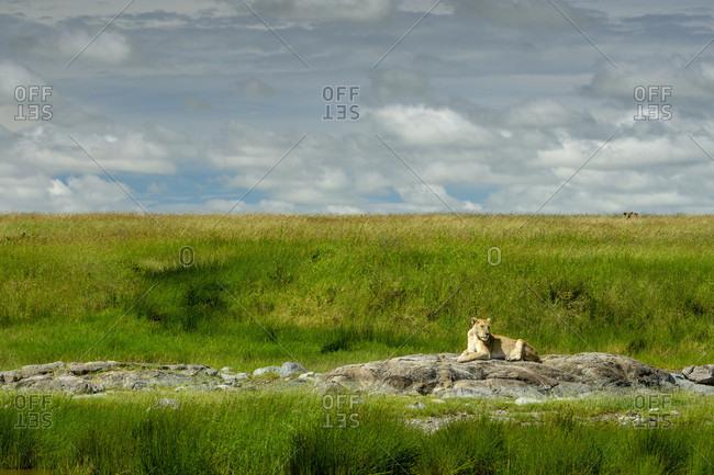 Distant view of single lioness?(Panthera?leo)?lying on rock, Serengeti National Park, ?Ngorongoro?District, Tanzania