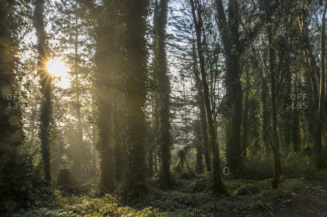 Scenic view of forest at sunrise with sun shining between trees, San Francisco, California, USA