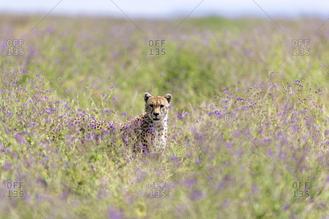 Single cheetah (Acinonyx jubatus) looking at camera in tall grass, Serengeti National Park, Tanzania