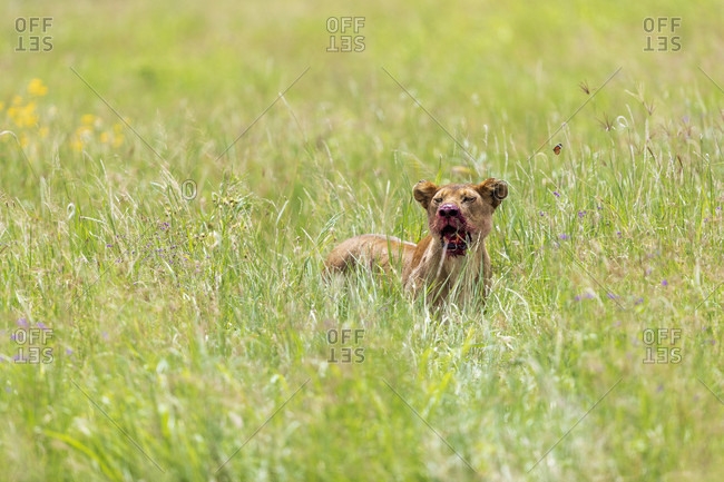Single lioness (Panthera leo) sitting in grass with bloody mouth after hunting, Serengeti National Park, Mara Region, Tanzania