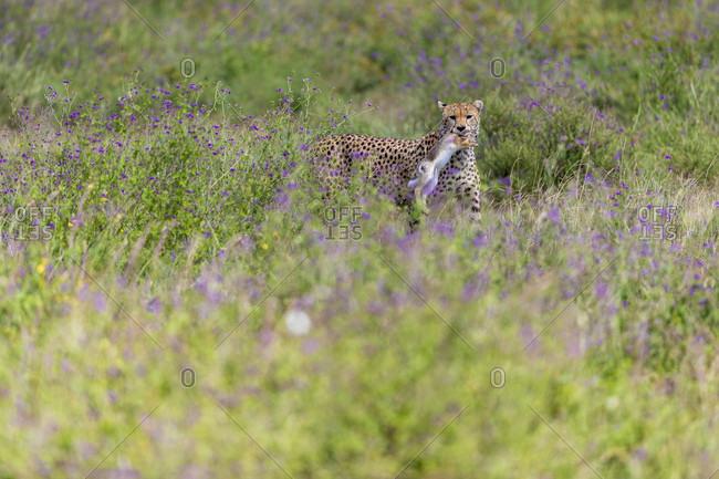 Single cheetah (Acinonyx jubatus) with prey in mouth, Serengeti National Park, Tanzania