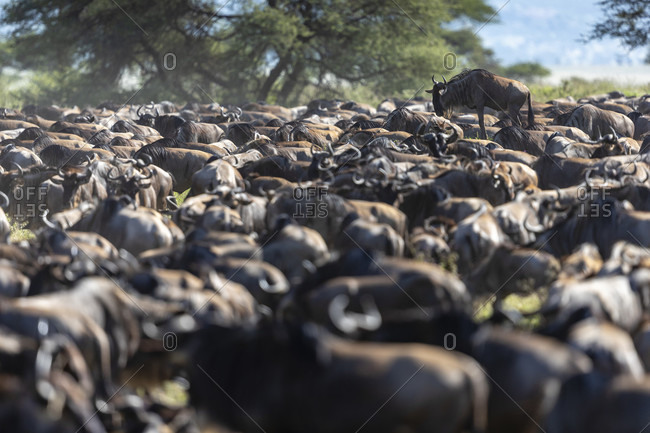Large herd of wildebeest, Serengeti National Park, Shinyanga Region, Tanzania