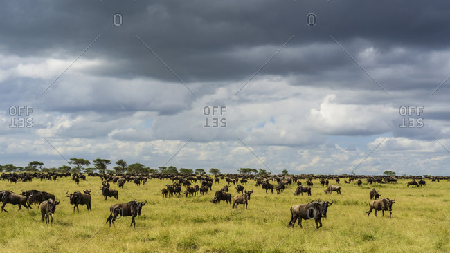 Nature photograph with large herd of wildebeest grazing in savannah, Serengeti National Park, Ngorongoro District, Tanzania