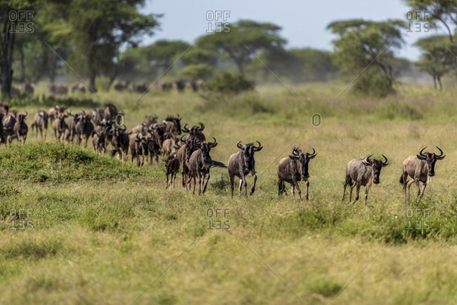 Nature photograph with large herd of wildebeest running in savannah, Serengeti National Park, Shinyanga Region, Tanzania