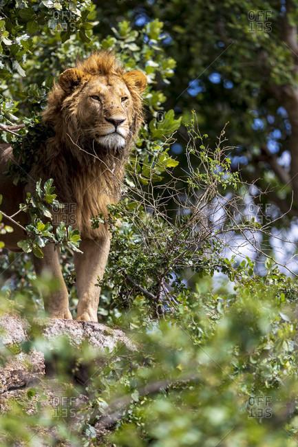 Single lion (Panthera leo) standing on rock, Serengeti National Park, Tanzania